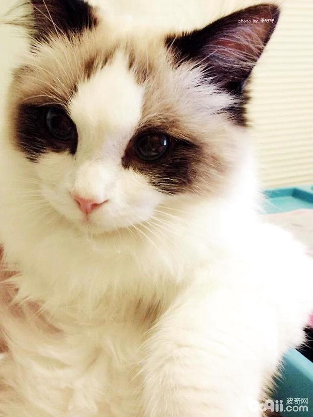 如何选购布偶猫,布偶猫购买要点-猫咪品种